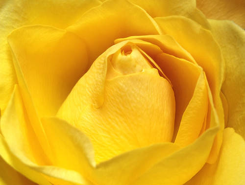 Yellow_Rose_closeup