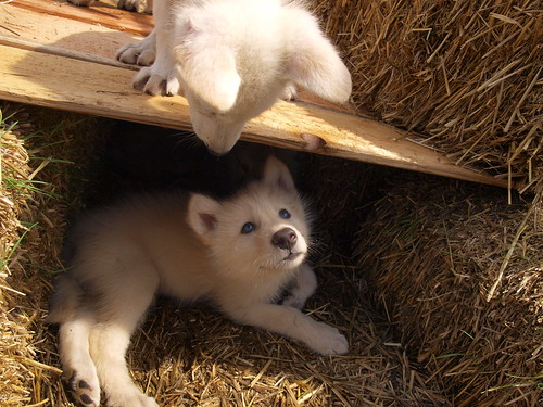 2012-05-12 Fur-Ever Wild Wolf Puppy Madness 104 by puckster55pics