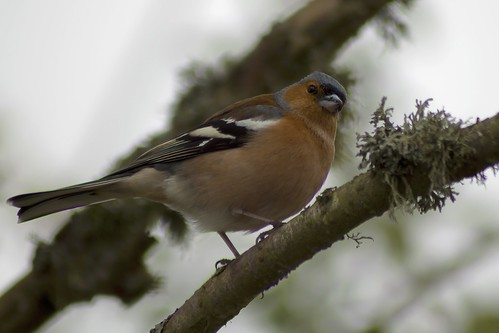 Male Chaffinch 7th-May-12