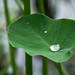 Small photo of Life is like a drop of water on a taro leaf.