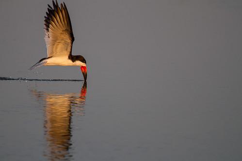 statepark nature birds texas wildlife birding galvestonisland blackskimmer gseloff