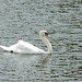 Rogers State swans 2