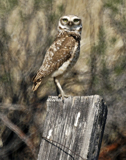 a580 195 (2)Burrowing Owl