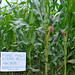 Maize under conservation agriculture in Malawi