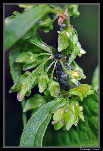 Oseille ondulée (Rumex crispus)