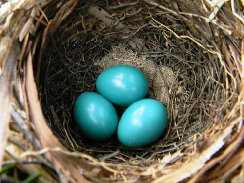 cowbird eggs