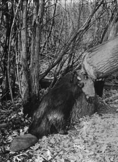 Beaver / Castor