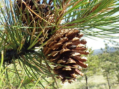 Pinus scopulorum, east slope Ponderosa pine