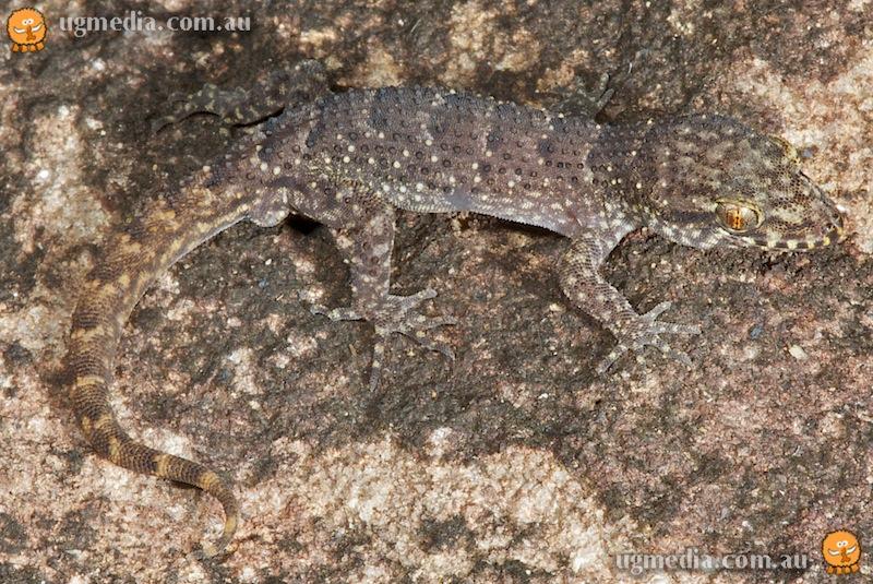 Chevert's gecko (Nactus cheverti)