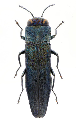Agrilus tibialis (male)