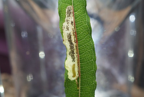 Mompha raschkiella tenanted leaf mine on Roseby Willowherb