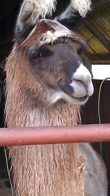 smirking llama