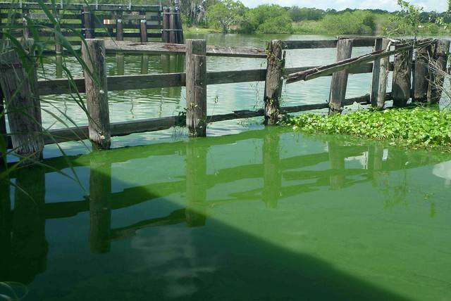 The slimed Caloosahatchee River from the Alva Bridge, June 13, 2011.