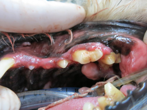 dental in canine