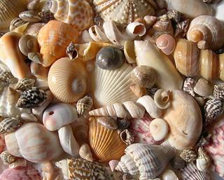 Vỏ nghêu ốc-Seashell
