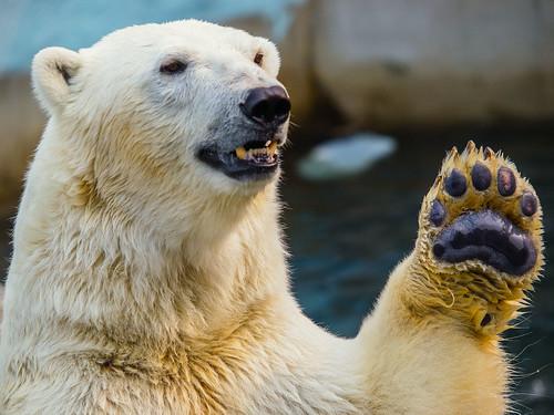 [フリー画像素材] 動物 1, 熊・クマ, ホッキョクグマ・シロクマ ID:201207291000
