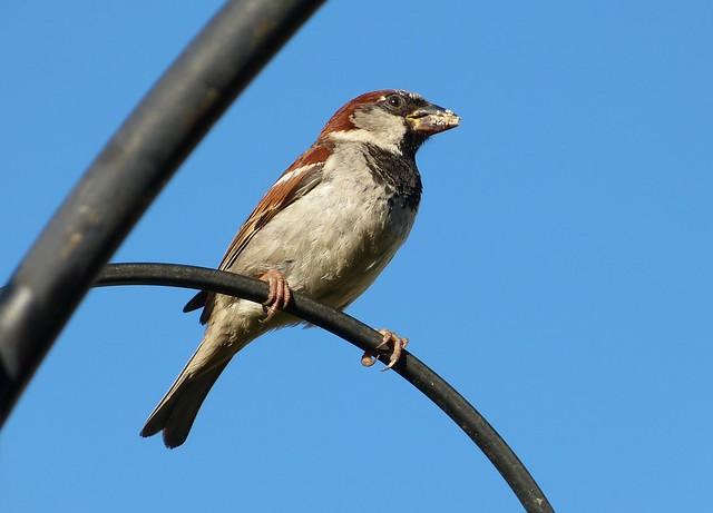 27653 - House Sparrow, Garden