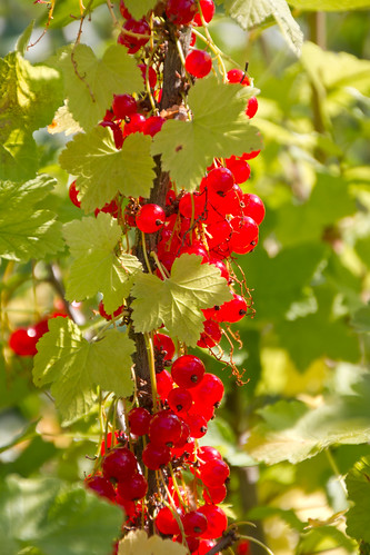 Redcurrants / Punased sõstrad