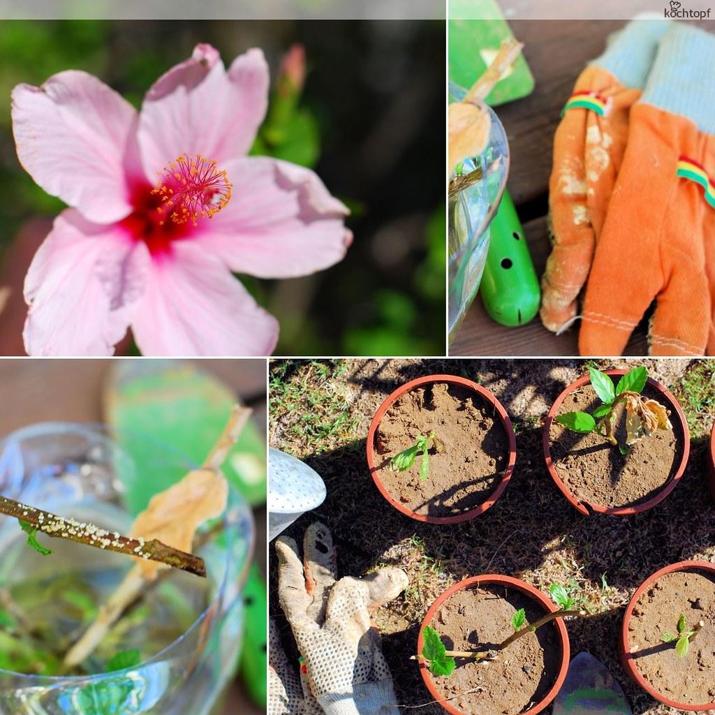 Gärtnern mit Zorra - Hibiskus aus Stecklingen ziehen