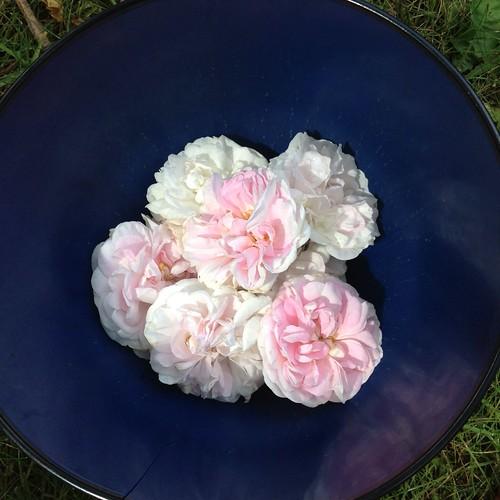 Plockar Rosa Alba Maiden's Blush som ska torkas och användas i rosenmaränger