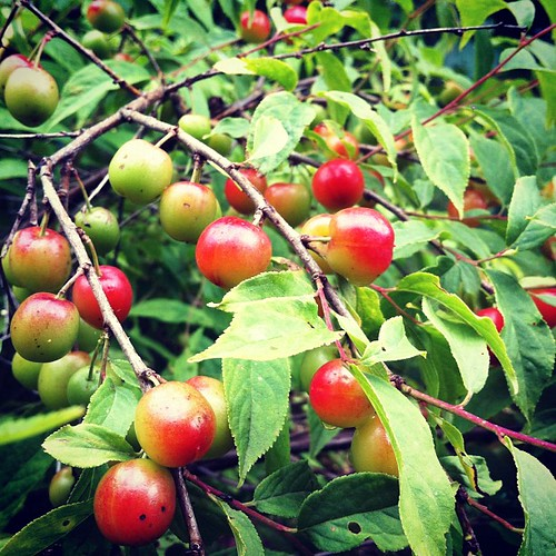 "the ""Joelle"" bunch cherry bush, edible, plus the birds love it #urbangarden #lughnasadh #organicgarden #wildlifehabitat"