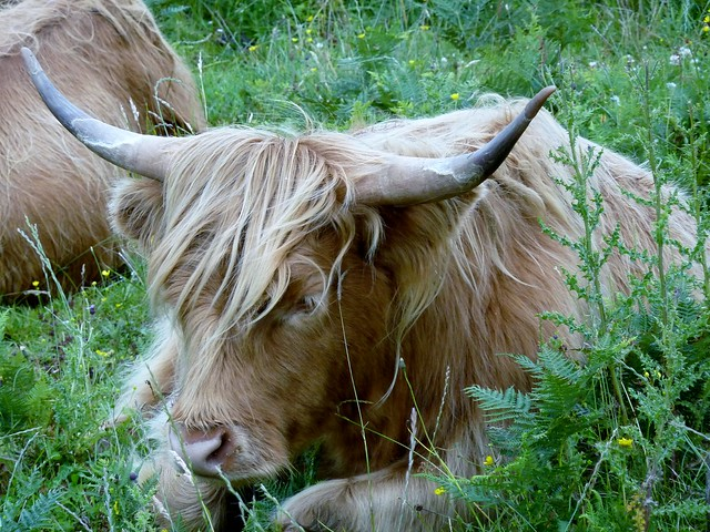 Highland Cow, Skye