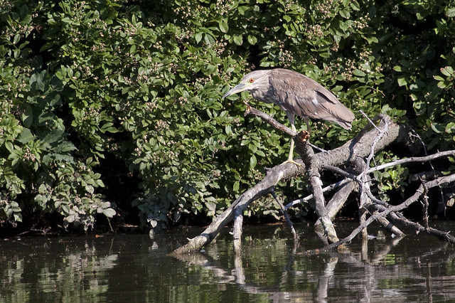 night heron juv