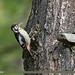 Himalayan Woodpecker (Dendrocopos himalayensis)