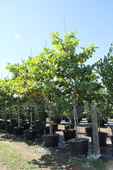 Terminalia Catappa (Pacific Almond)