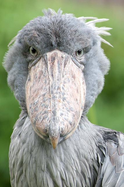 Shoebill Stork Stare.