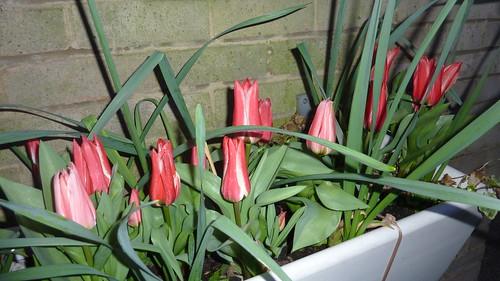 Tulips near the wall width=