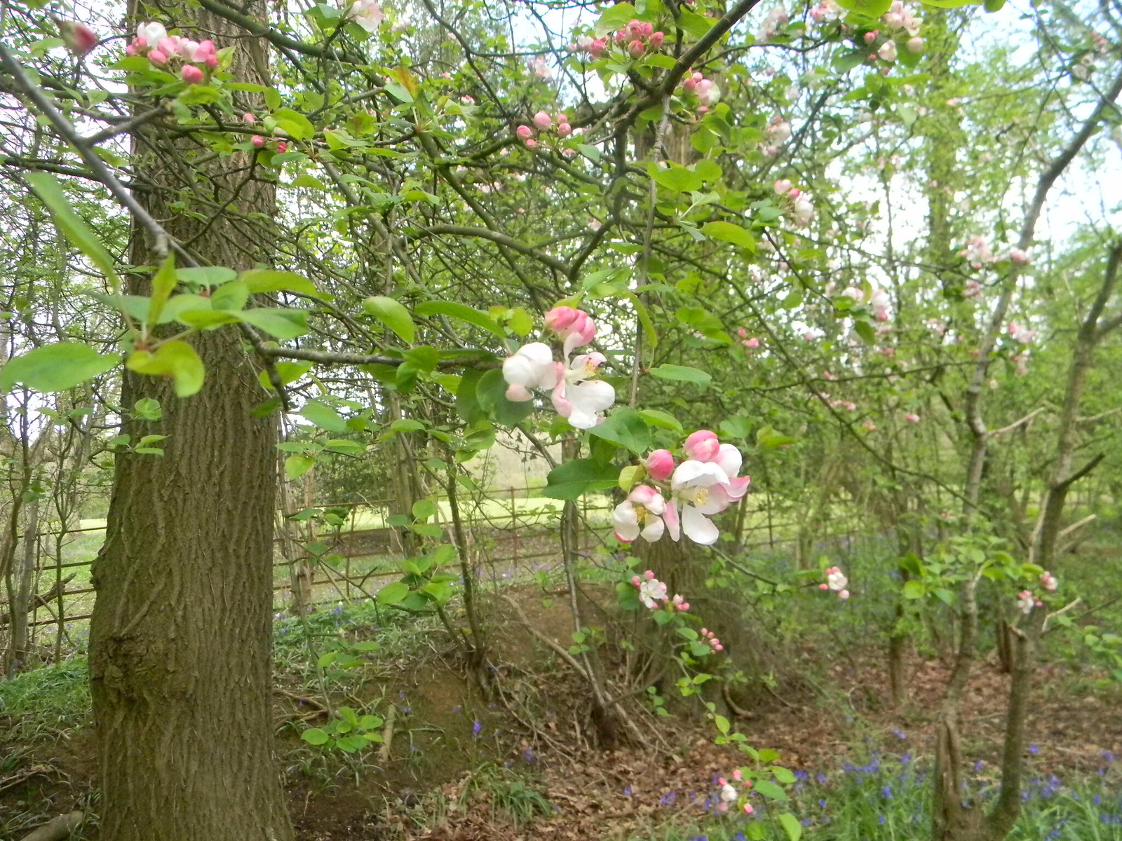 Apple blossom Ockley to Warnham