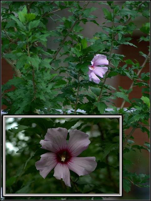 Purple Hibiscus Backyard Snob :  Collection Galleries World Map App Garden Camera Finder Flickr Blog