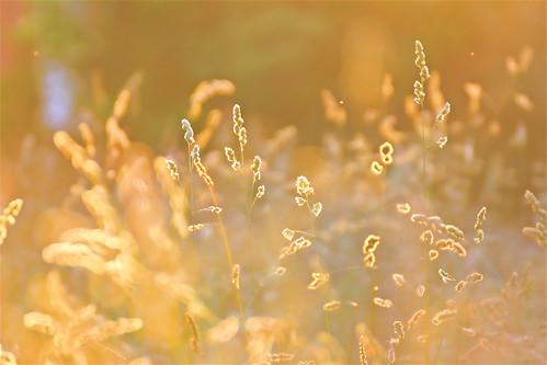 light sunset ohio home colors field grass cincinnati glowing tallgrass backlighting hss grassseeds sliderssunday haventmowedthispart