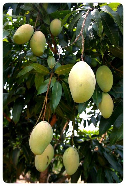 cambodia mango tree