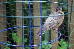 Tiny Robin, June 1, 2012