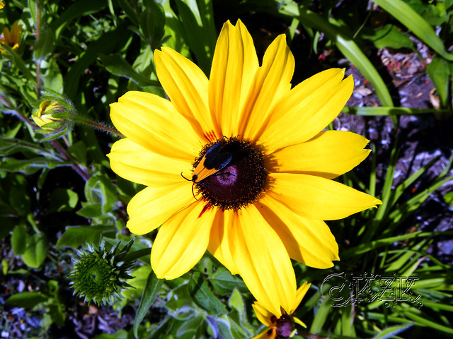 DSCN3839 Black Eyed Susan and friend