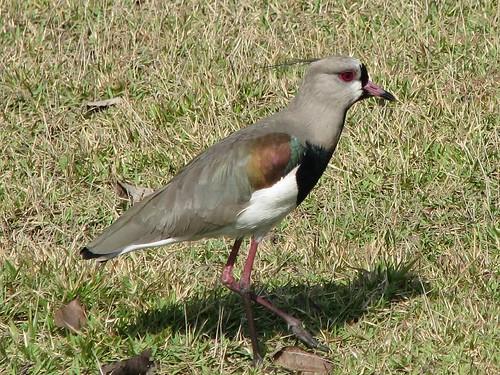 Ornitolôgia - Anellus chilensis - Quero-quero
