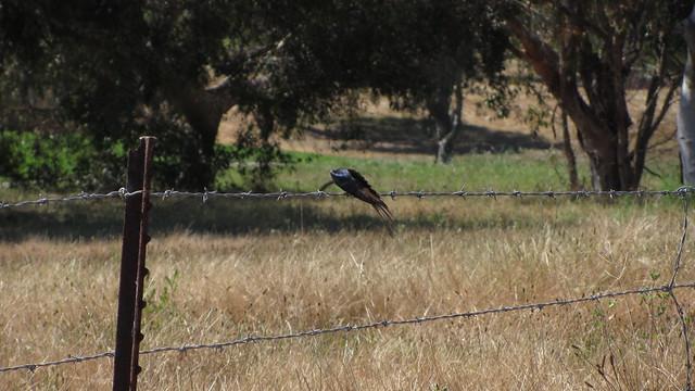 IMG_6679 swallow preening