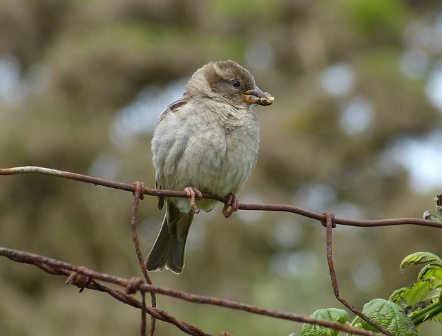 27465 - House Sparrow, Marloes Mere