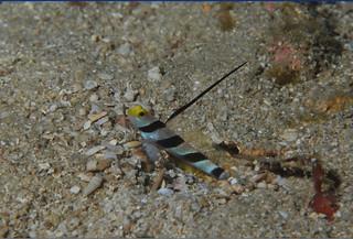 絲鰭硬頭鰕虎。(圖片來源:墾丁國家公園管理處)