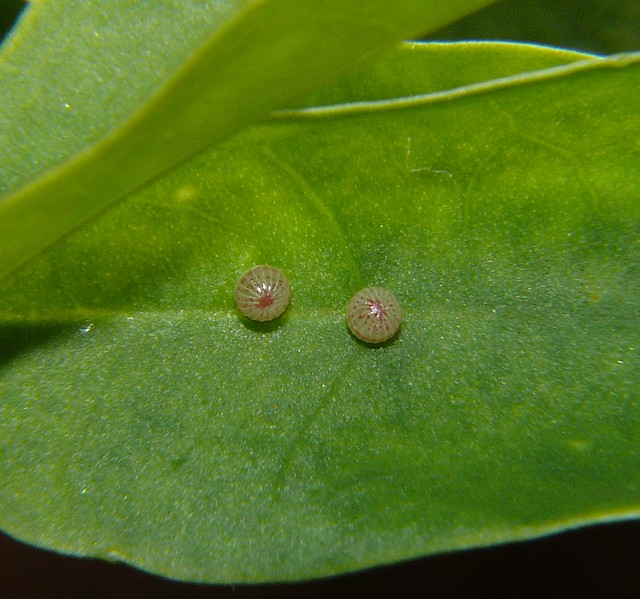 Alcides metaurus Zodiac day moth  eggs Airlie Beach P1020206
