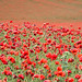 Poppies & more Poppies by Peter-snottycat