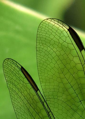 Dragonfly Wngs 380