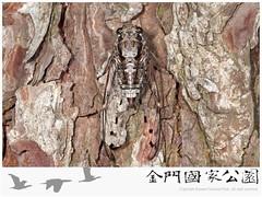 大姬蟬-02(雌蟲).jpg