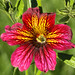 Salpiglossis by Meighan