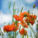 Hampshire poppies II