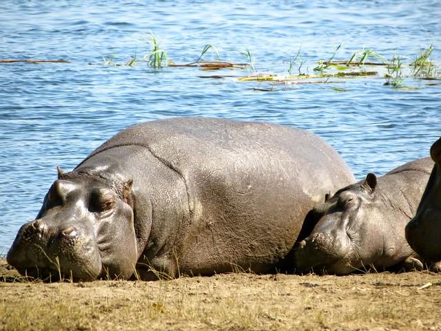 hippo along chobe river, botswana, africa
