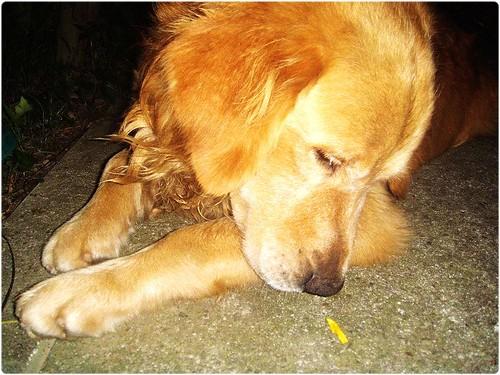 「找原主認養」桃園楊梅高中附近∼拾獲戴黑項圈沒晶片的黃金獵犬弟弟∼這是誰家的孩子?請幫助他找回家的路∼20120710