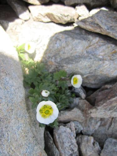 Ranunculus glacialis - Ranuncolo dei Ghiacci